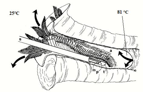 Derin Denizlerde Yasayan Sicaklik Rekortmeni Pompei Solucani R